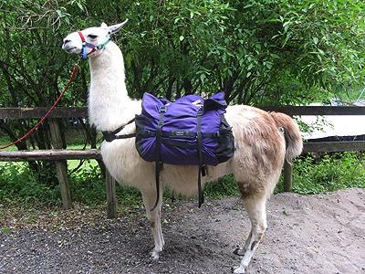 Gleich kann es losgehen: Das Lama trägt bereits die Satteltaschen.