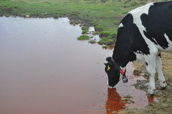 Das Sekret der Algen scheint das Wasser für die Kühe nicht ungeniessbar zu machen.