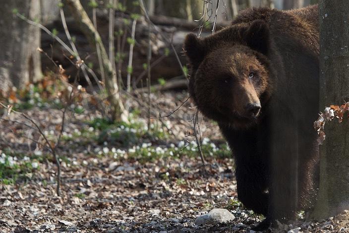 Über die Identität des gesichteten Bären können die Behörden nur mutmassen.
