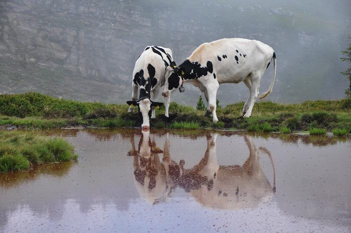 Plötzlich tauchen Kühe auf, die den Tümpel zum Trinken benützen.