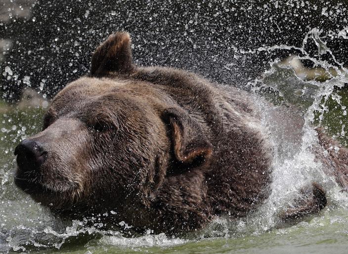 Nahm der Bär in der Nacht auf Montag noch ein Bad im Thunersee? In welche Richtung das Tier nach dem Auftritt auf der Strasse weglief, ist unklar.