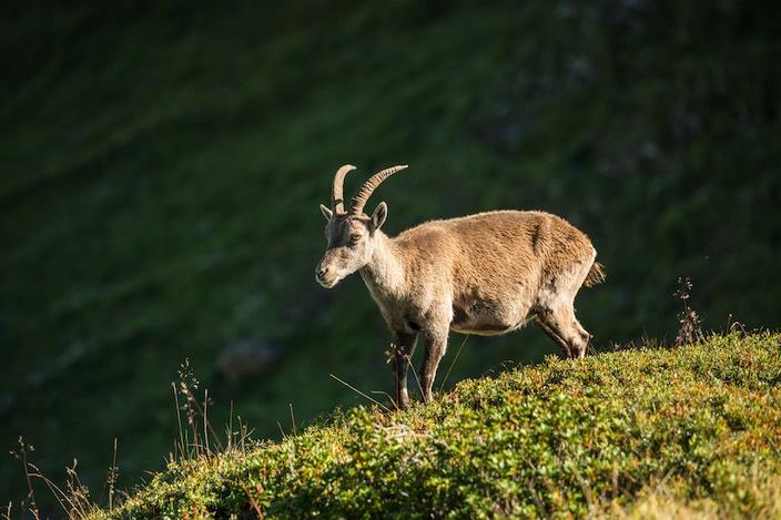 Kein seltener Gast: Insbesondere frühmorgens streifen die Steinböcke durch ihr natürliches Habitat am Niederhorn.