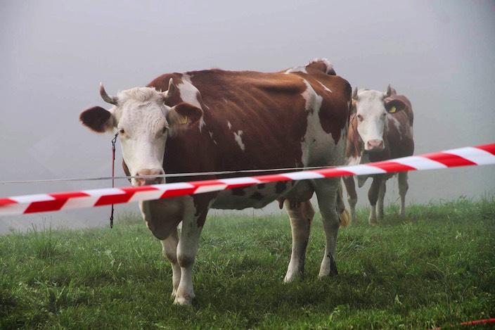 Auch die Kühe blicken traurig auf ihr zerstörtes Zuhause.